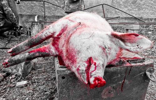 Pig_slaughter_4