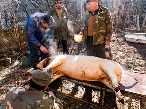 Pig_slaughter_7