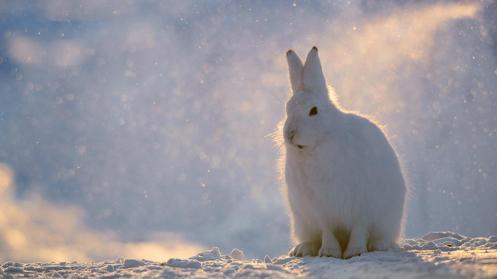 Arctic hare (Lepus arcticus), Greenland (Credit: Morten Hilmer)