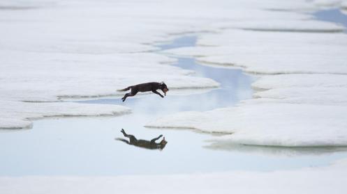 Arctic fox (Vulpes lagopus) on her way home to her pups (Credit: Morten Hilmer)