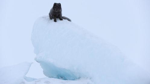 Arctic fox (Vulpes lagopus) on an iceberg in Greenland (Credit: Morten Hilmer)