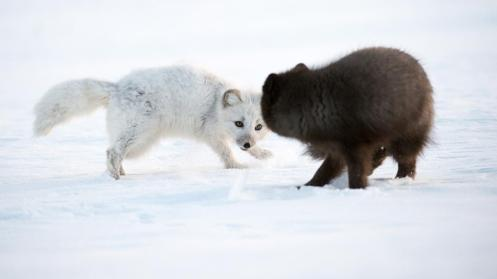Two arctic foxes (Vulpes lagopus) in Greenland (Credit: Morten Hilmer)