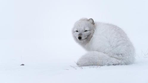 Arctic fox (Vulpes lagopus) during a blizzard (Credit: Morten Hilmer)