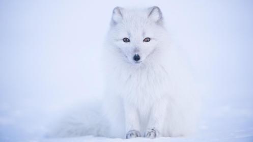 Arctic fox (Credit: Morten Hilmer)