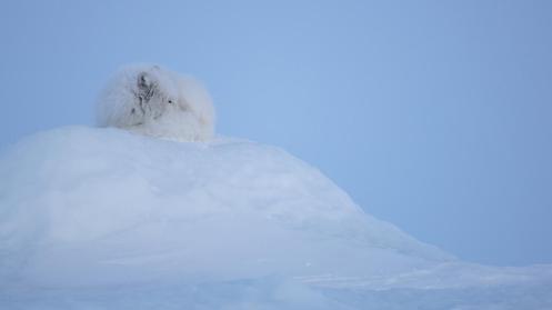Arctic fox (Vulpes lagopus) (Credit: Morten Hilmer)