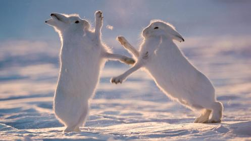 Arctic hare battle (Credit: Morten Hilmer)